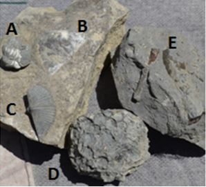 Some of the groups's finds from the Francis Road site.  A.  Sue's small but complete enrolled trilobite, B. a Strophemenid brachiopod on matrix, C. Fred's Mucrospirifer, D. Gary's Pleurodictyum americanum, and E. Jerry's fossilized nautiloids.