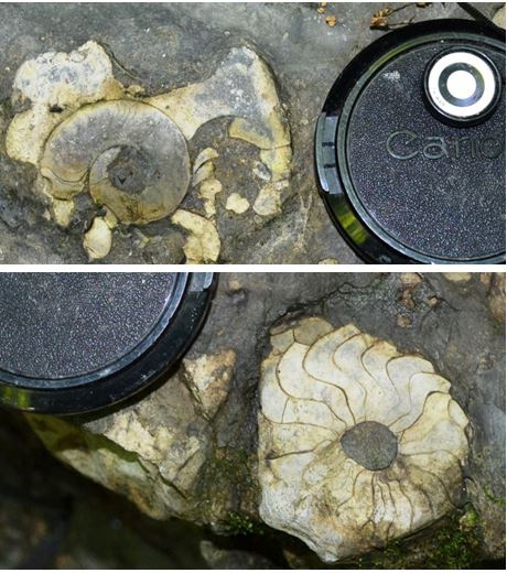 Two ammonites found in the Parrish limestone bed midway in the Cashaqua limestone.  These fossils were found in place in the gully wall.