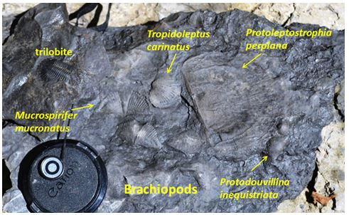All these brachiopods in one matrix piece!  The trilobite is a separate piece.