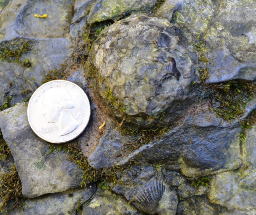 A Pleurodictyum americanum as encountered in the creek bed.  Note the Tropidoleptus in the lower middle.  They were truly everywhere.