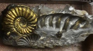 But, this excellent pyritized ammonite is not from Alden and it is not Devonian.   It is not even from North America.  Stephen Mayer displayed this Pleuroceras sp, which is from the Early Jurassic of Germany.