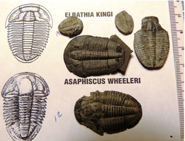 Examples of two of the  common species that Tammy and I found at U-Dig-Fossils.