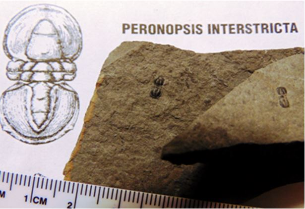 Like some other Cambrian trilobites, the tiny Peronopsis interstricta had no eyes and were completely blind.