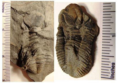 Two of the trilobites found  at Green's Landing, Eldredgeops rana (left) and Monodechenella macrocephela (right).