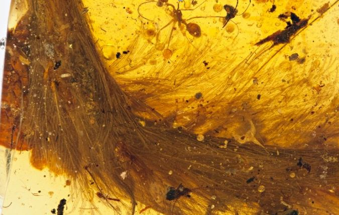 "The tailbone of a Cretaceous Period juvenile dinosaur remarkably preserved in amber and covered in feathers.  Field of view in this photo is about 2"". The darker specs within the amber are ants, pieces of beetles and a bit of plant material.   (from Graham, 2016)"