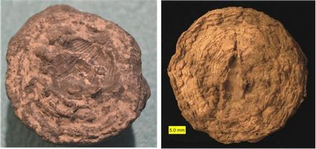 "The flat bottoms of two ""pleuros"" showing fossil molds. On the left is one of the Indian Creek specimens from the preceding photo and shows a brachiopod mold. The right photo is also from the Kashong shale of western NY. Here, the Palaeozygopleura hamiltoniae mold is readily apparent (from Wooster, 2011)."