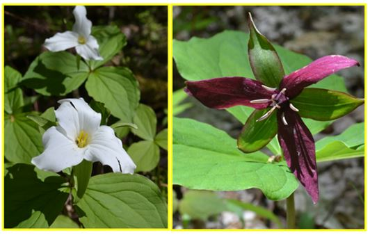 Rocks are not the only pretty things in the Ontario Highlands.  White and purple trilliums were all along the trail to Silver Crater.
