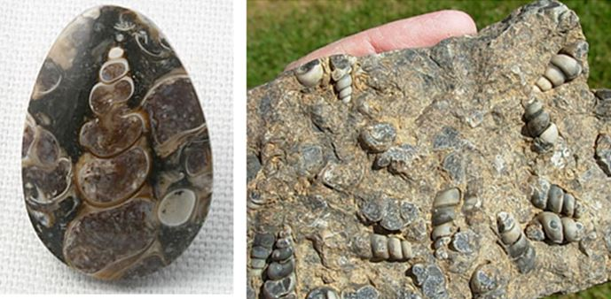 """The cabachon on the left is 1.5"""" high and is from Utah.  The raw hand sample on the left is from south central Wyoming.  Both are incorrectly labeled turritella agate in their internet source."""