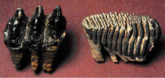 """The high crowned """"nipple-like"""" molars of the mastodon (left) were designed for mashing leaves and twigs, while the flat molars of the mammoth (right) look more like cheese-graters and were better suited for grinding tough grasses.  (from Paleoaerie.org, 2014)"""