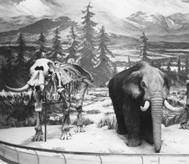 New York's most famous mastodon, the Cohoes Mastodon, was discovered in 1866 along the Mohawk Rive in Albany County, New York.  The 8 foot high 15' foot long behemoth now resides for all to see in the South Hall Lobby of the New York State Museum in Albany (from NYSM.nysed.ogv).