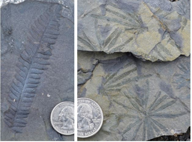 Carboniferous plants: The leaf clusters to the right are Annularia from the side branches of horsetail ferns called Calamites.  The fossil plant on the left is a Pecopteris, a seed bearing Carboniferous fern: two nice finds.
