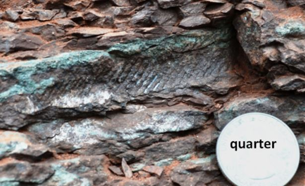 """Glenn Weiler found the largest fish scale plate.  This 3"""" section came out in 3 pieces, hopefully it made it home in just 3 pieces and Glenn can reconstruct a partial dorsal fin from a 265 Million Year old Palaeoniscoid fish.  How neat is that!"""