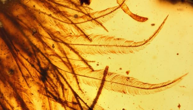 A close-up of dinosaur feathers preserved in amber: Note the perfect preservation in this piece that is only 3 mm across.  (from Xing et. al., 2016)